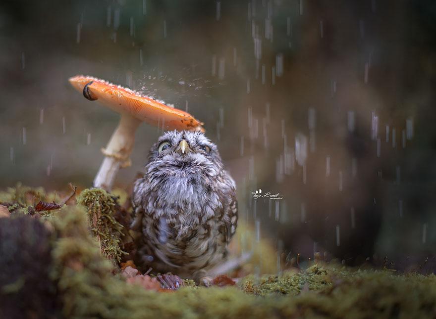 This owl using a mushroom for an umbrella